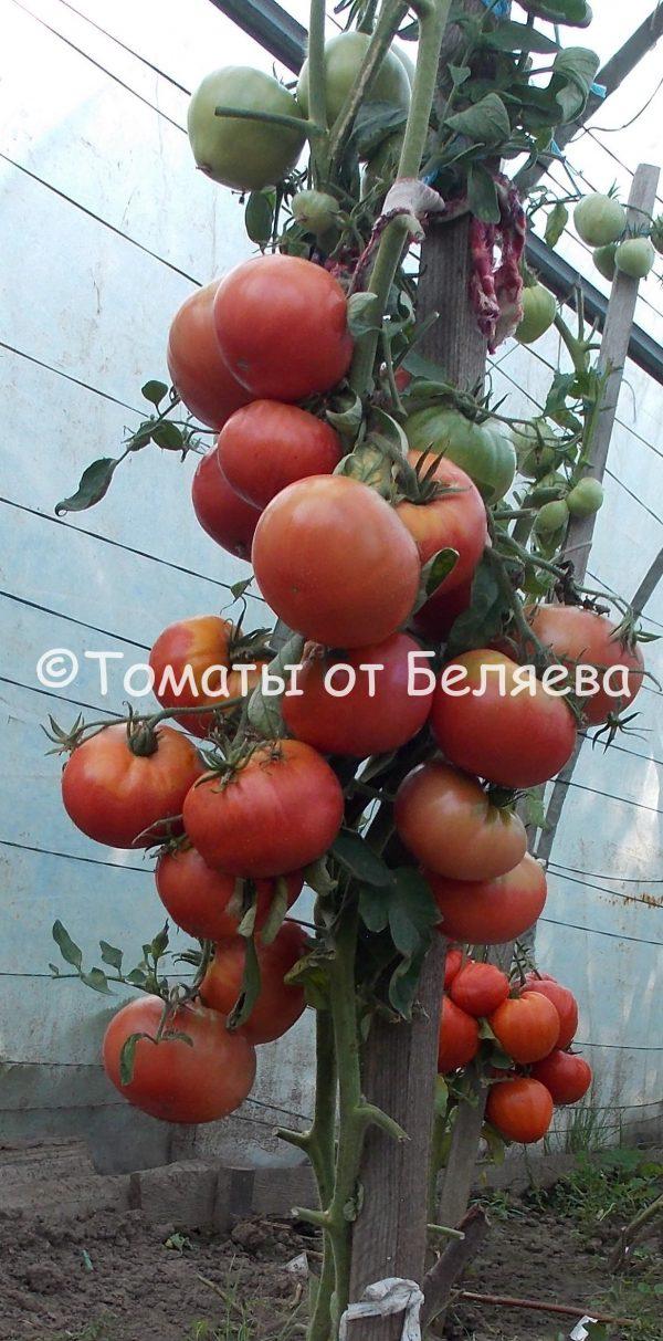 Семена томатов от частных коллекционеров Томат Скуби