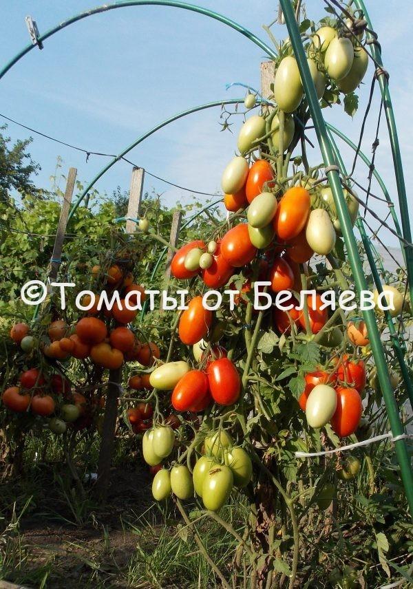 Семена томатов Сливка красная плотная купить