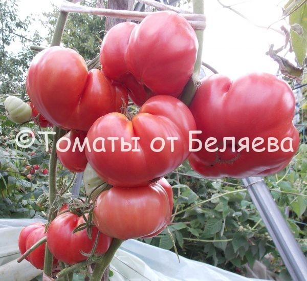 Семена томатов от частных коллекционеров Томат Спринт таймер