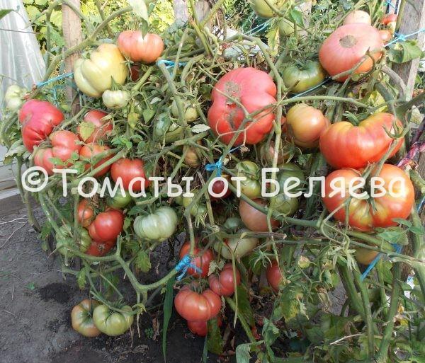 Семена томатов от частных коллекционеров Томат Старообрядческий