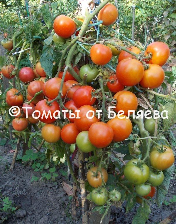 семена томатов Таймыр купить