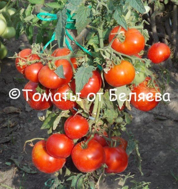Семена томатов Тетушка купить