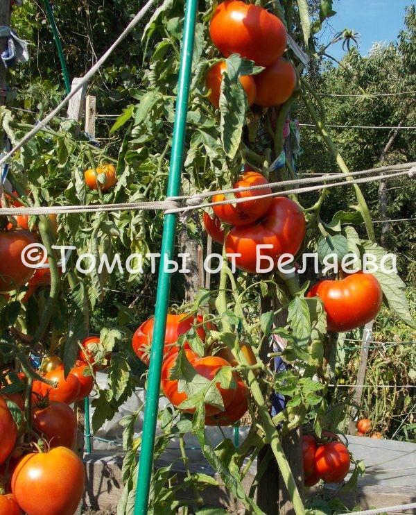 Редкие коллекционные семена томатов купить Томат Толстушка востока