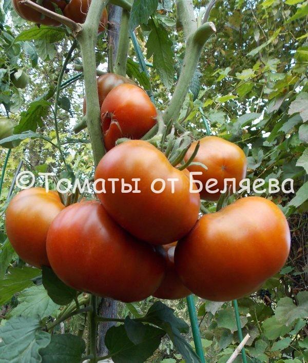 Семена томатов от частных коллекционеров Томат Углерод