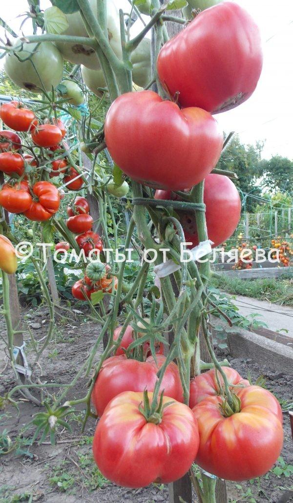 Семена томатов от частных коллекционеров Томат Ырга