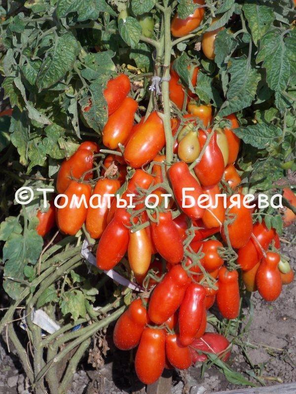 Томат Жигало семена купить