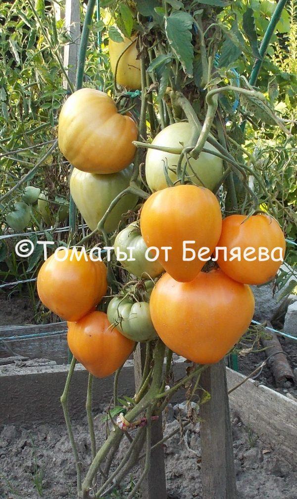 Томат Золотое сердце семена купит